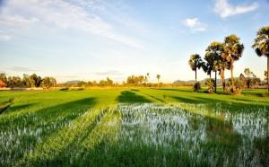 Ngút mắt trước cánh đồng thốt nốt chạy dài tận chân trời ở An Giang