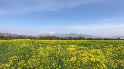 Vẻ đẹp của cánh đồng hoa thì là ở Ninh...