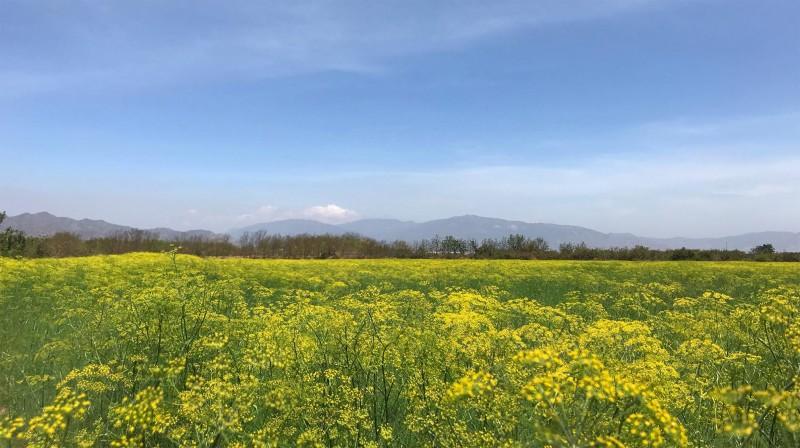 Vẻ đẹp của cánh đồng hoa thì là ở Ninh Thuận