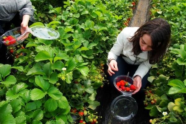 Những vườn dâu tây nổi tiếng ở Đà Lạt bạn nên thăm quan