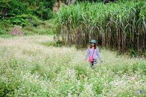 Tháng 10 du lịch ở đâu? Tuyệt đẹp với mùa hoa Tam Giác Mạch Hà Giang