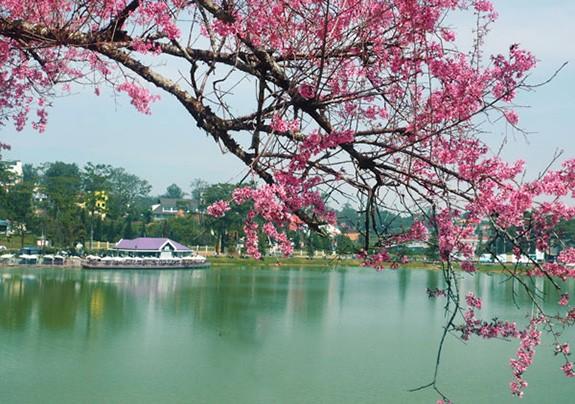 Đà Lạt lần đầu tiên tổ chức lễ hội hoa Mai Anh Đào