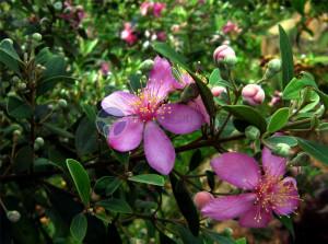 Vườn Sim rừng Phú Quốc và 3 điểm tham quan vườn Sim nổi tiếng tại Phú Quốc