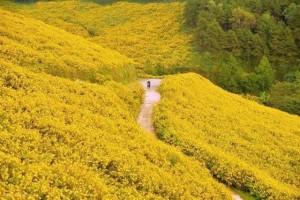 Mê mẩn với những cung đường hoa Dã Quỳ đẹp nhất ở Đà Lạt