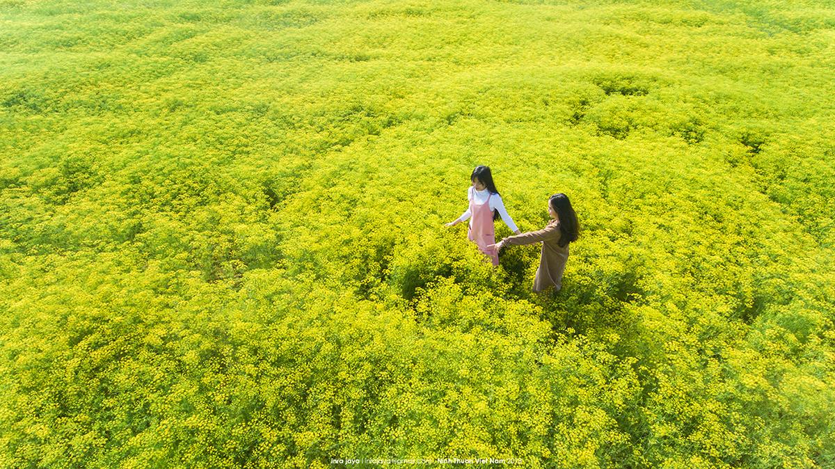 Vẻ đẹp của cánh đồng hoa thì là đang gây sốt ở Ninh Thuận