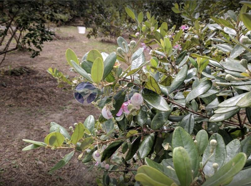 Vườn sim Sơn Phú Quốc